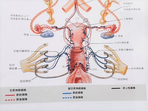 女性の骨盤神経